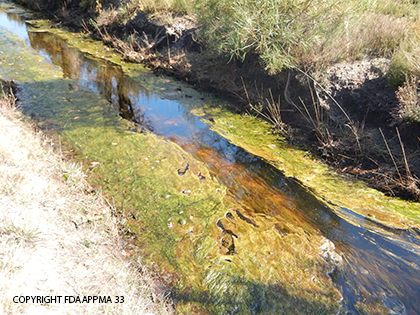 Développement d'algues filamenteuses